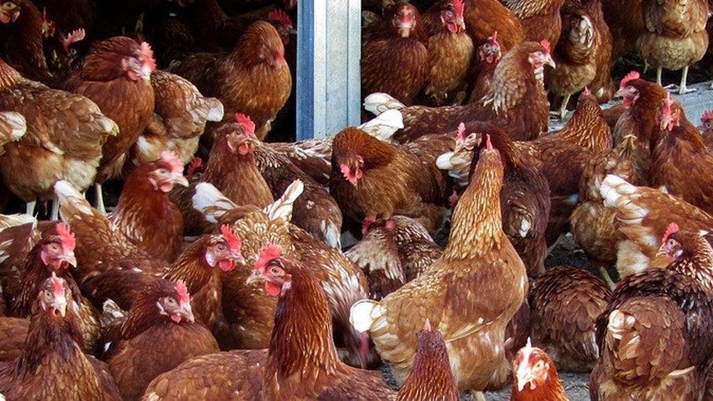 Tres años de cárcel por mantener sexo con gallinas en el sótano de su casa