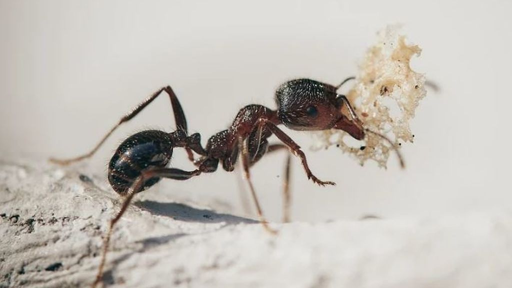 Cómo beneficia a algunas hormigas haber perdido las alas