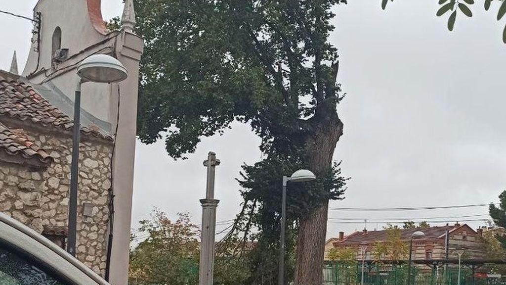 La borrasca derriba un árbol singular de más de 300 años en Madrid