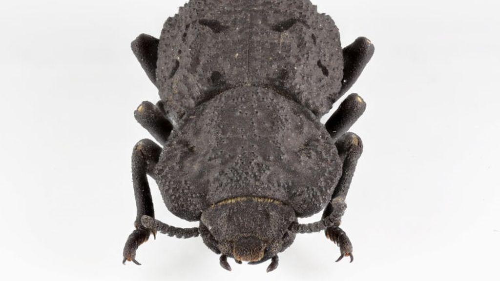Averiguan por qué el escarabajo acorazado es tan duro que puede ser atropellado sin dañarse
