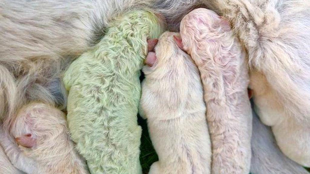 Sorprendente nacimiento de un perro verde en Cerdeña, Italia