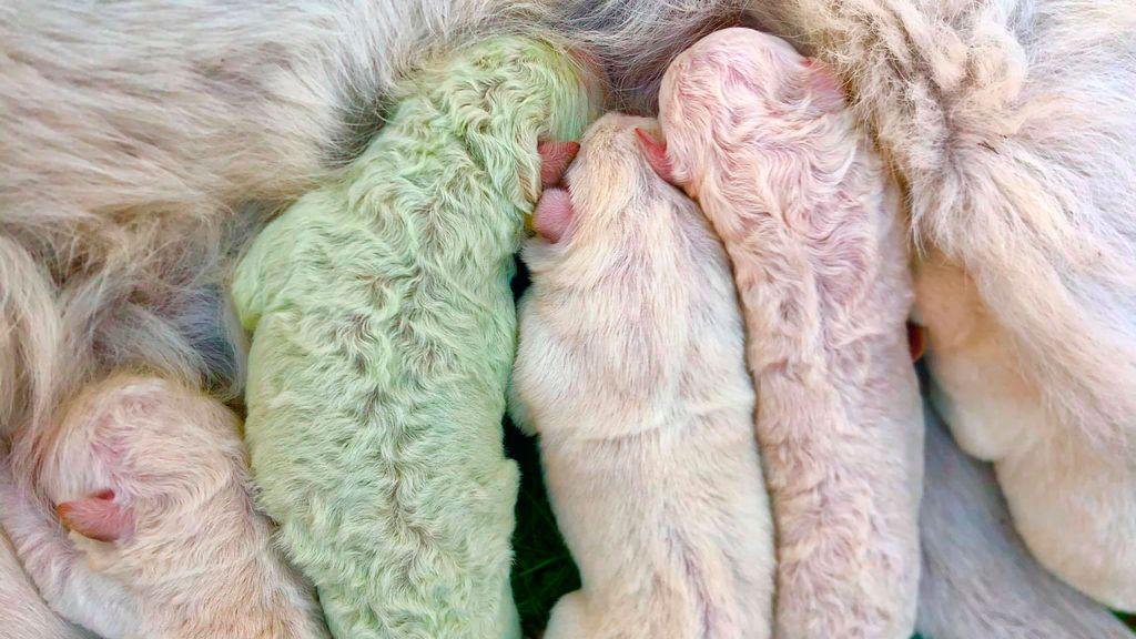 Más raro que un perro verde: Pistacho, el cachorro que nació con este extraño color