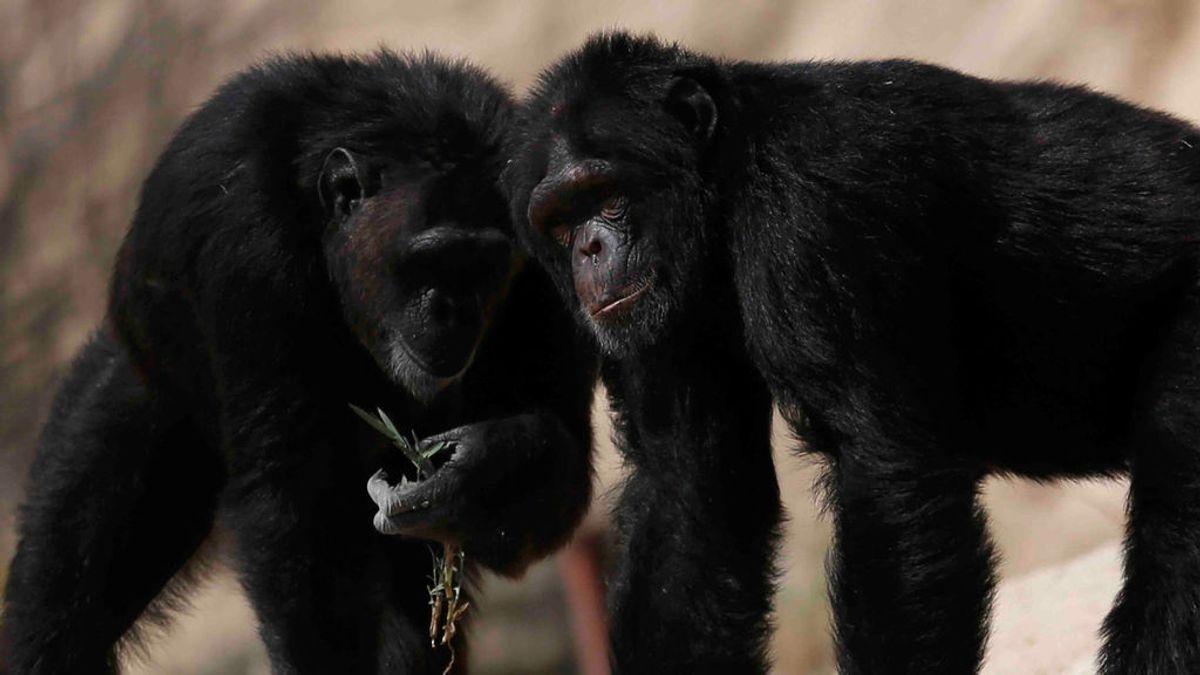 Los chimpancés eligen a sus 'amigos' para pasar la vejez, al igual que lo hacen los humanos