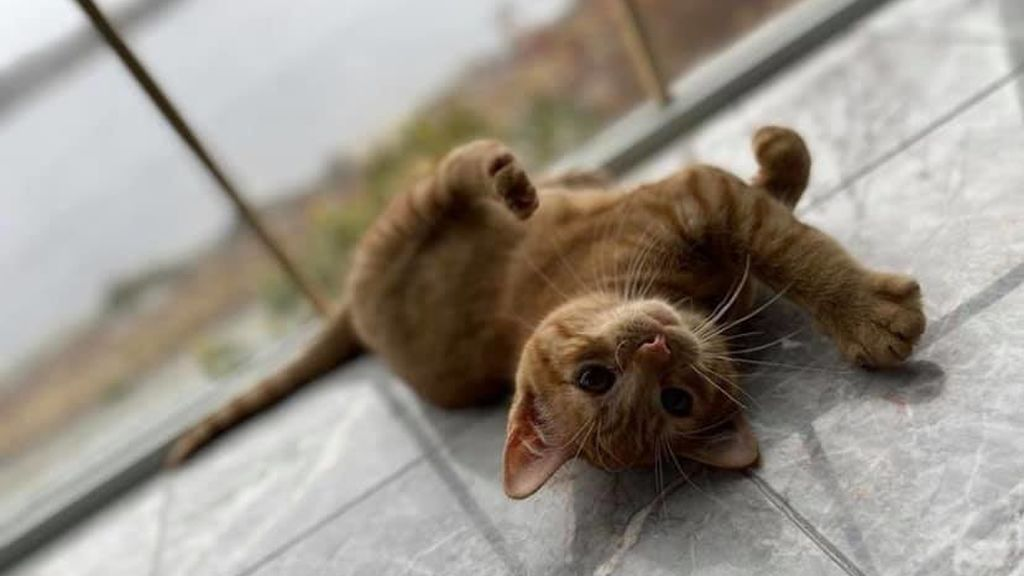 El gato Pumpkin