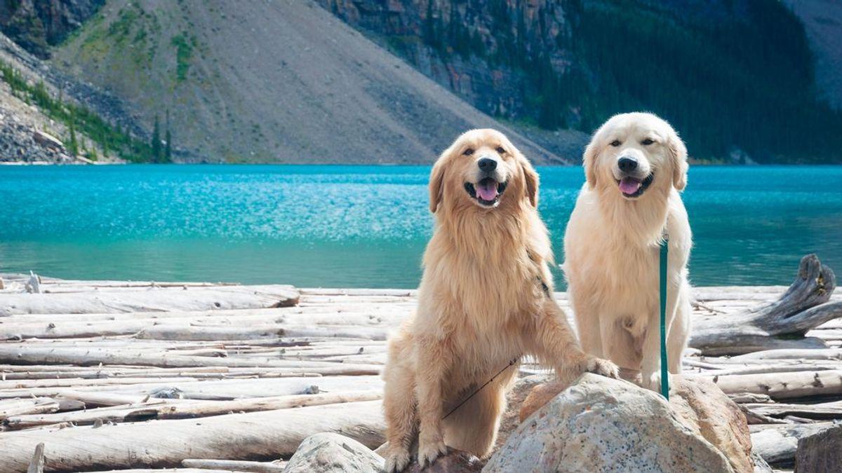 Alta traición: un estudio muestra que a tu perro le interesa más la cara de otro can que la tuya