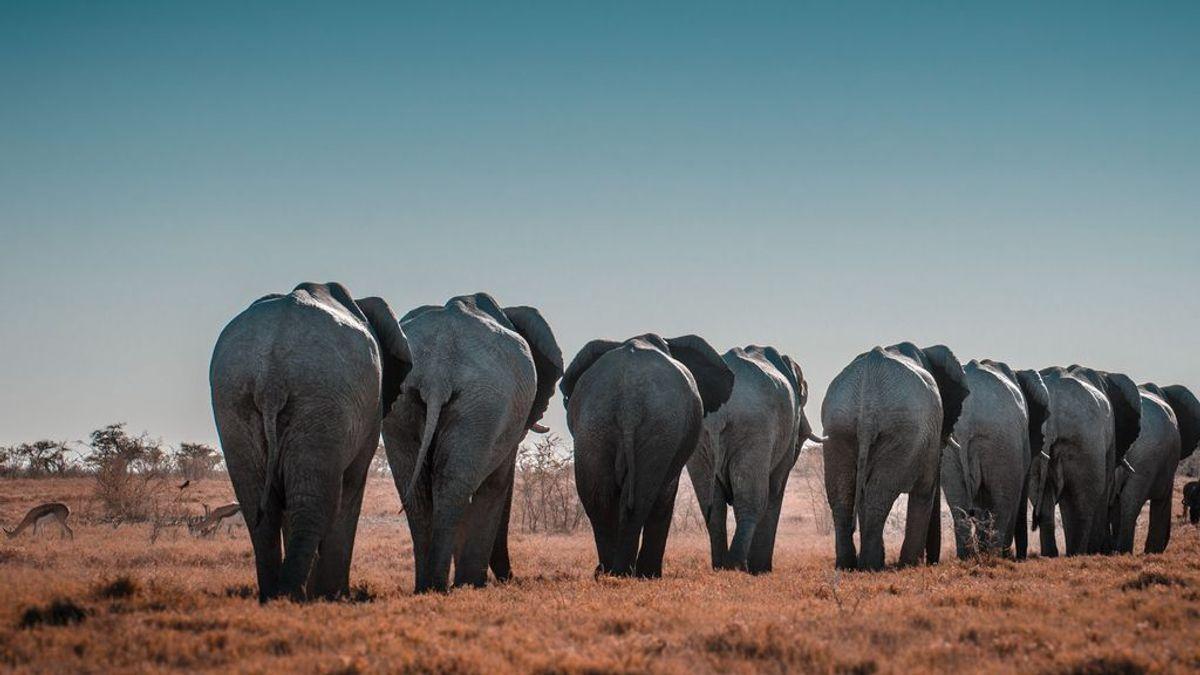 La brutal historia de la caca de elefante. Esta empresa india la usa para fabrical papel