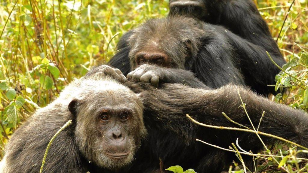 Los chimpancés prefieren pasar su vejez con los amigos de toda la vida, como los humanos