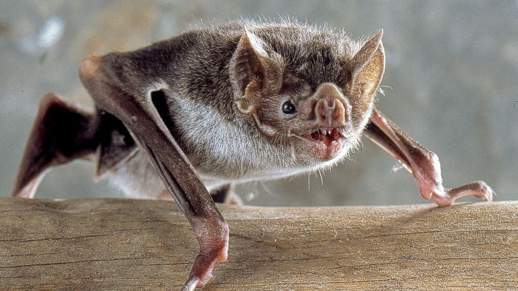 Los murciélagos vampiro respetan la distancia social con sus compañeros cuando enferman