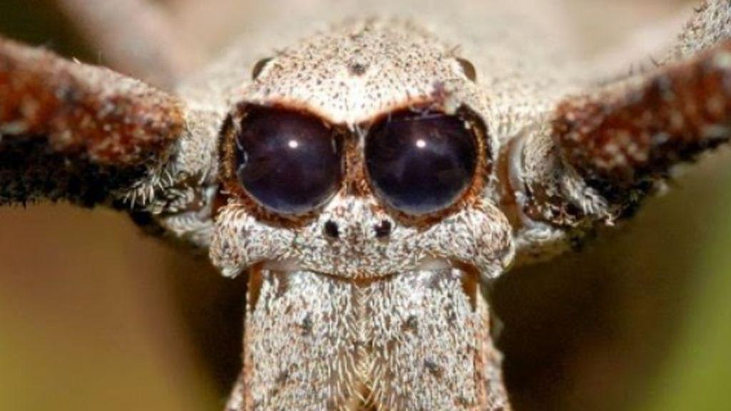 La araña ogro puede usar sus patas para oír