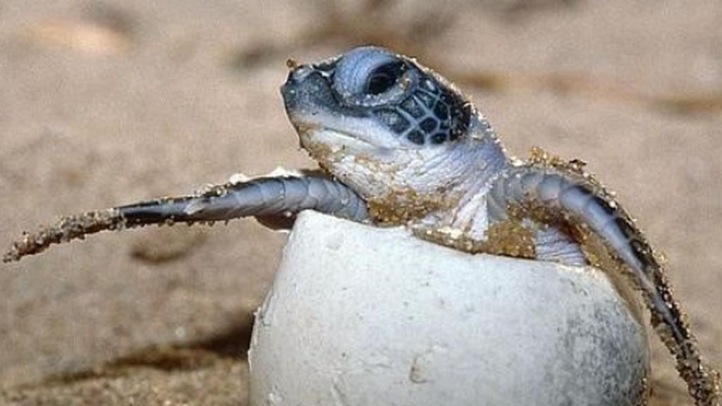Eclosión de tortugas en Mexico