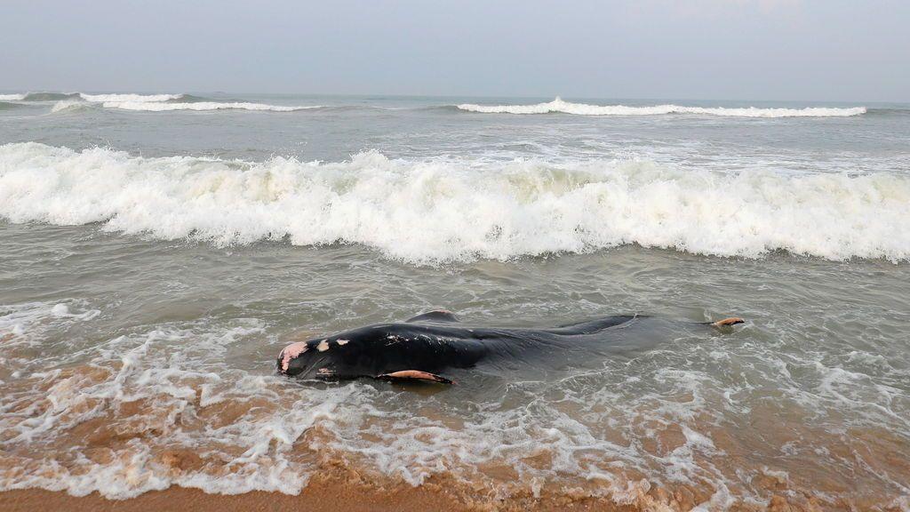 Una manada de cien ballenas, arrastrada tierra adentro en Sri Lanka