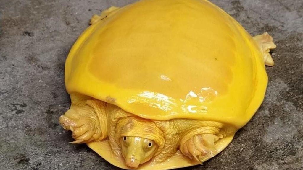 La rara tortuga dorada, considerada una encarnación de los dioses, reaparece en India