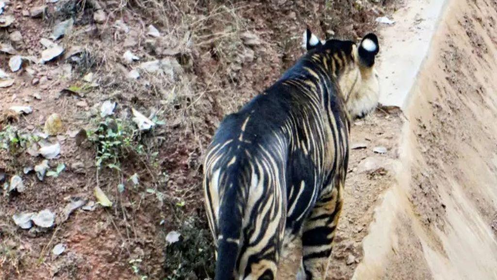 La fotografía de su vida: capta uno de los únicos seis tigres negros que quedan en el mundo