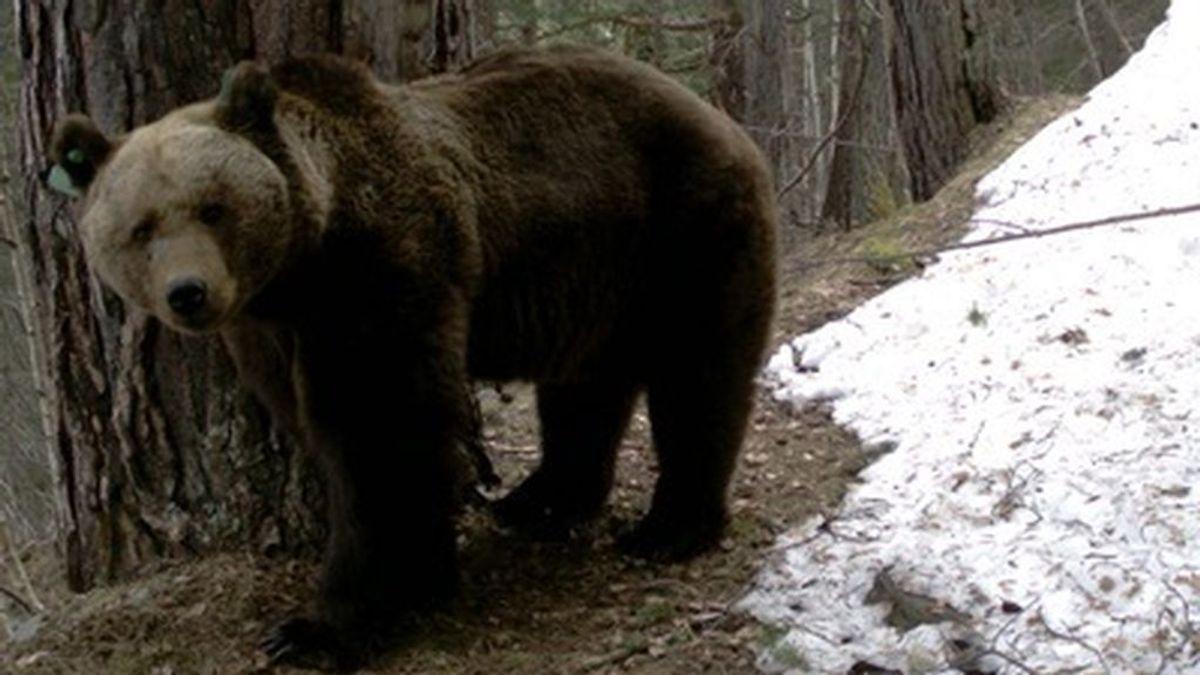 Goiat, el oso relacionado con un aumento de ataques en Aragón, pierde el collar GPS que lo geolocalizaba