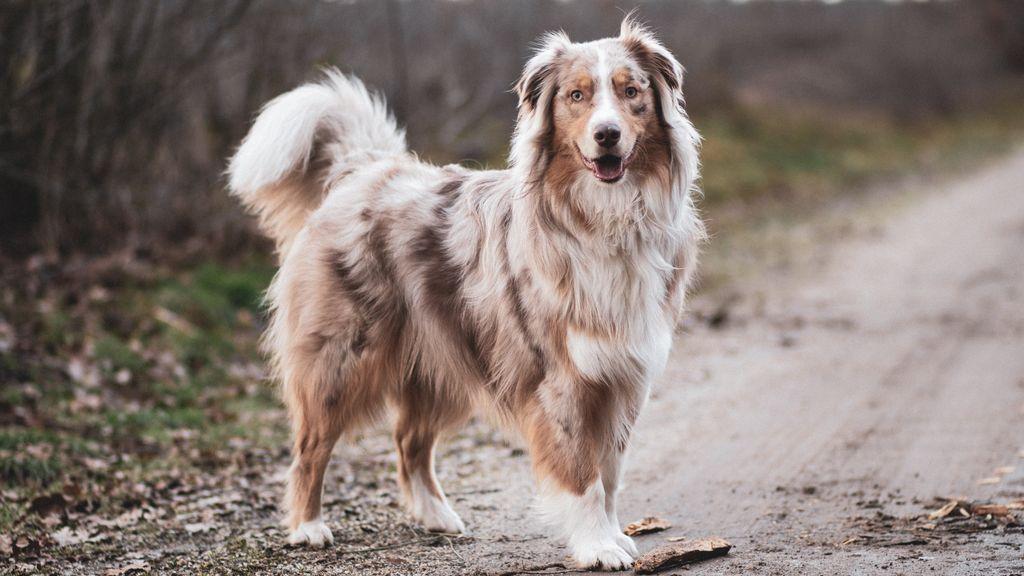 La posición del rabo en los perros puede darnos pistas sobre sus emociones
