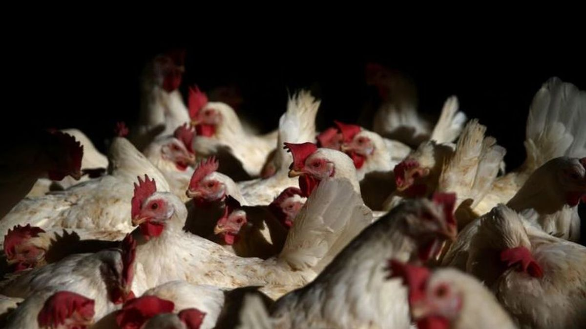 Japón sacrificará a 330.000 pollos al detectar un brote de gripe aviar en una granja