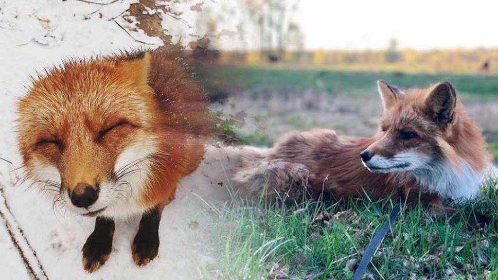 Un chico rescata un zorro de una granja de pieles y lo cría como un perro en su casa