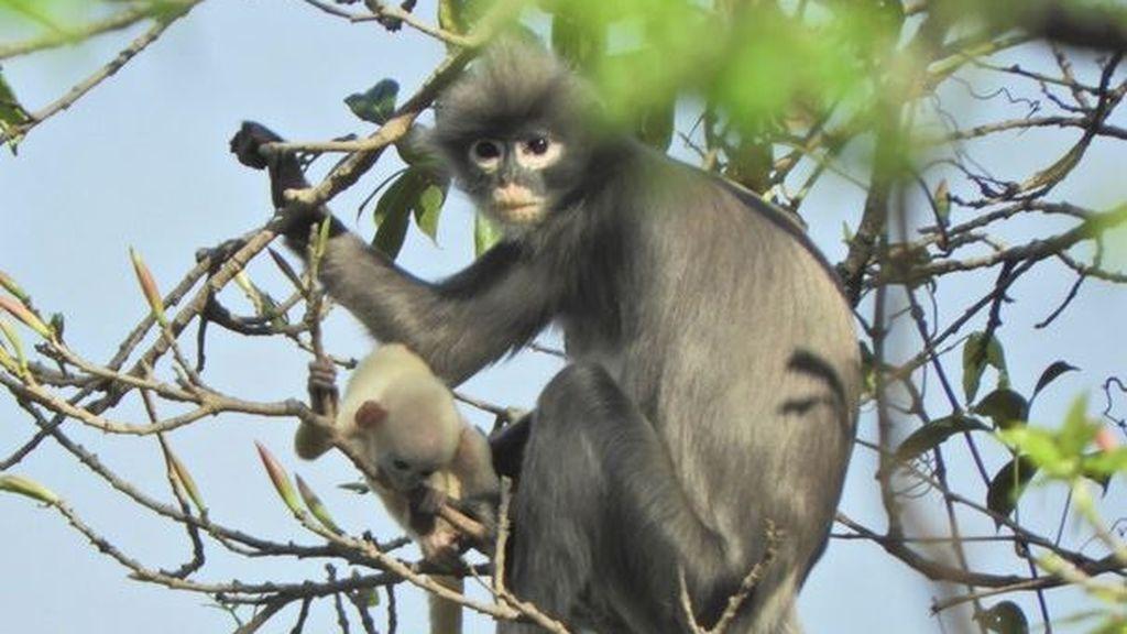 Descubren una reserva de primates 'con gafas', una especie desconocida hasta ahora