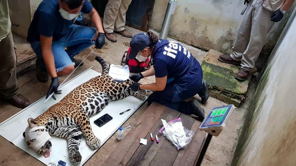 El equipo veterinario examina a Covi.