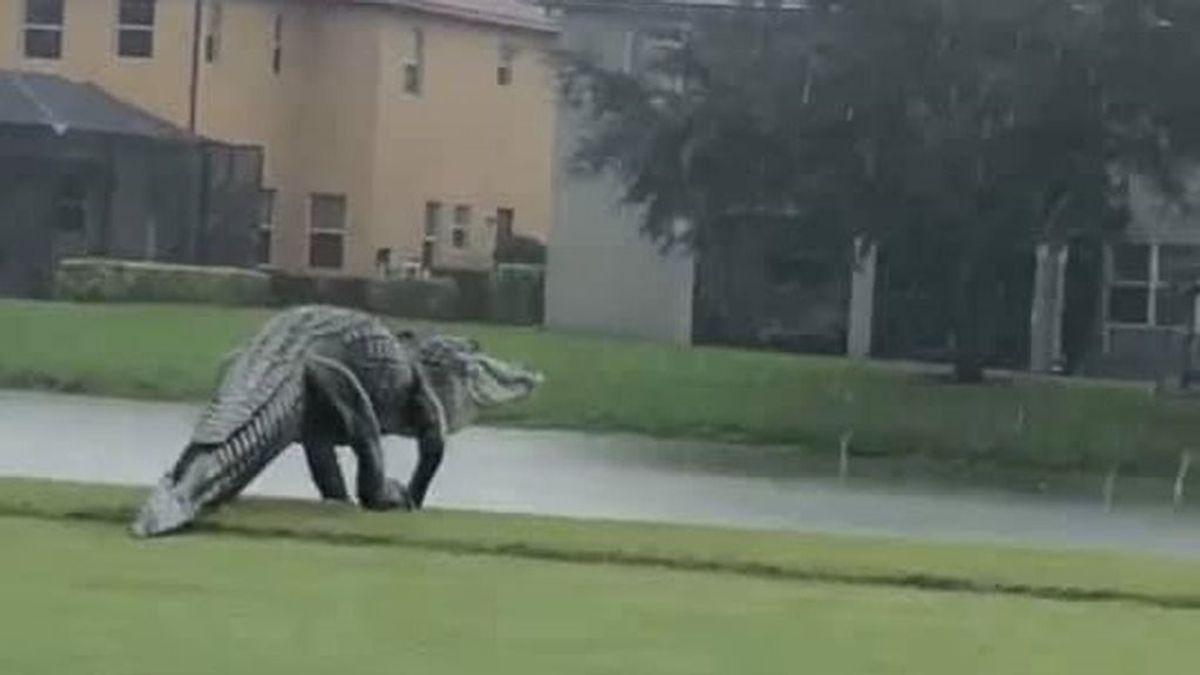 Graban un enorme caimán por las calles de Florida tras el paso del huracán Eta