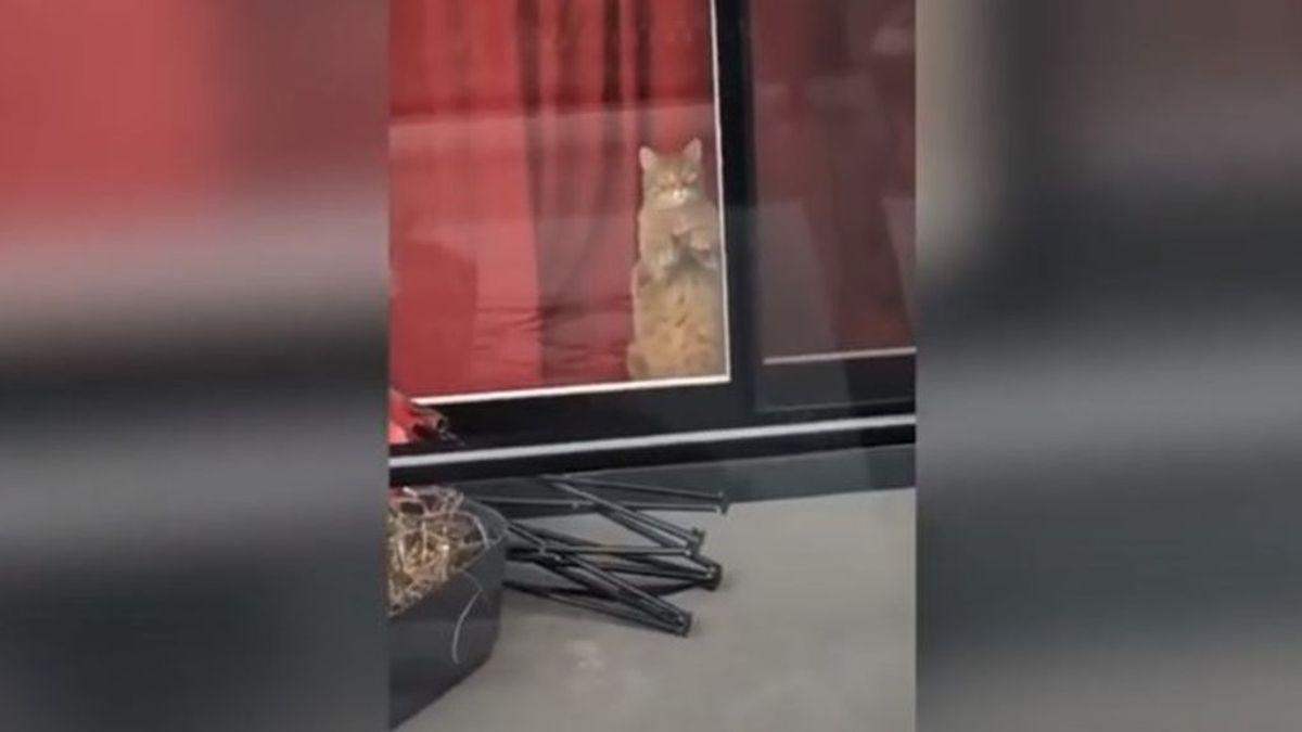 El noviazgo a distancia entre dos gatos enamorados que arrasa en TikTok