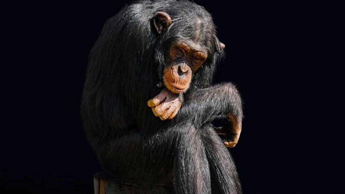 El chimpancé que disfrazaban en 'Crónicas Marcianas' sufrió trastornos mentales, y no es el único