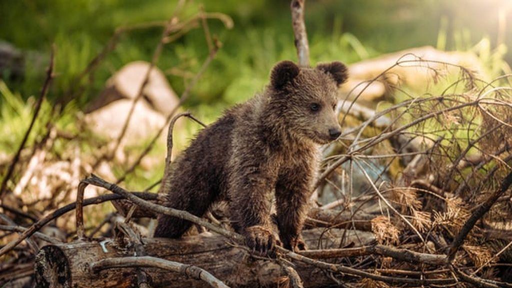 El oso ha llegado a Pirineos para quedarse: detectan seis nuevas camadas con 12 cachorros