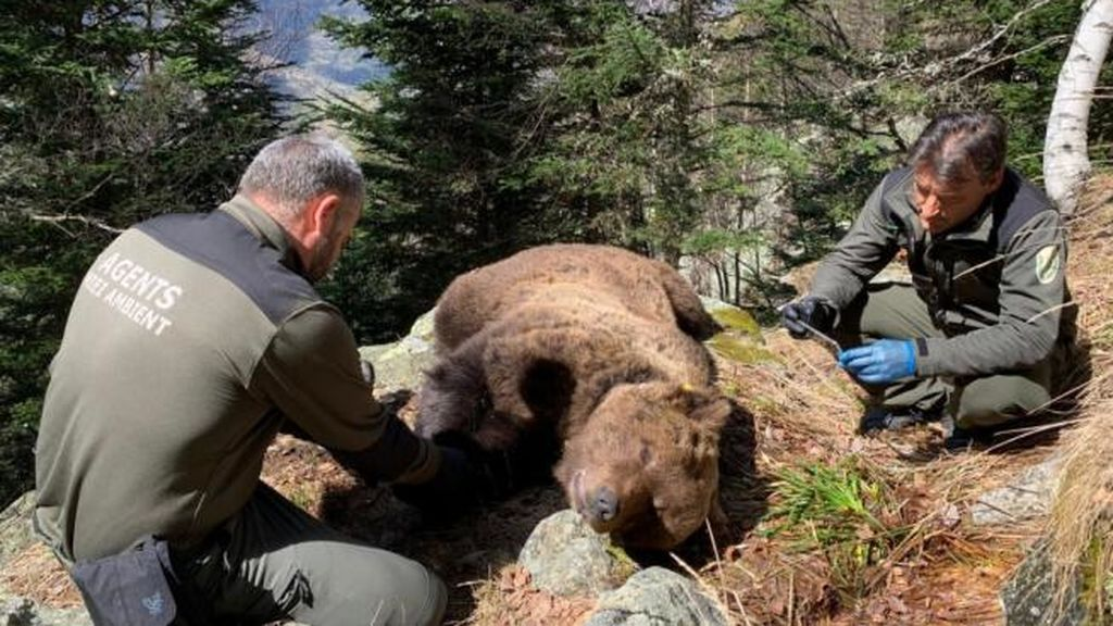 Detienen a un funcionario de Medio Ambiente por la muerte del oso Cachou