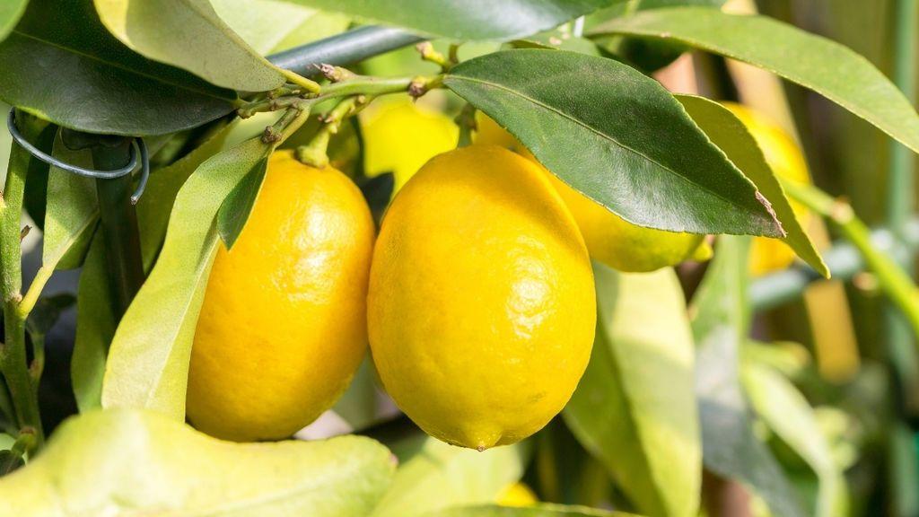 Por su sabor único y su versatilidad: el limón de Europa es uno de los productos estrella de la dieta mediterránea