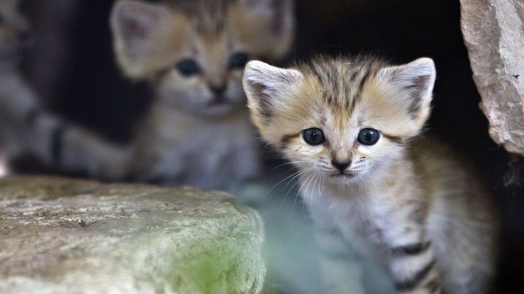 Gatos de arena, los escurridizos felinos con patas tan esponjosas que no dejan huellas