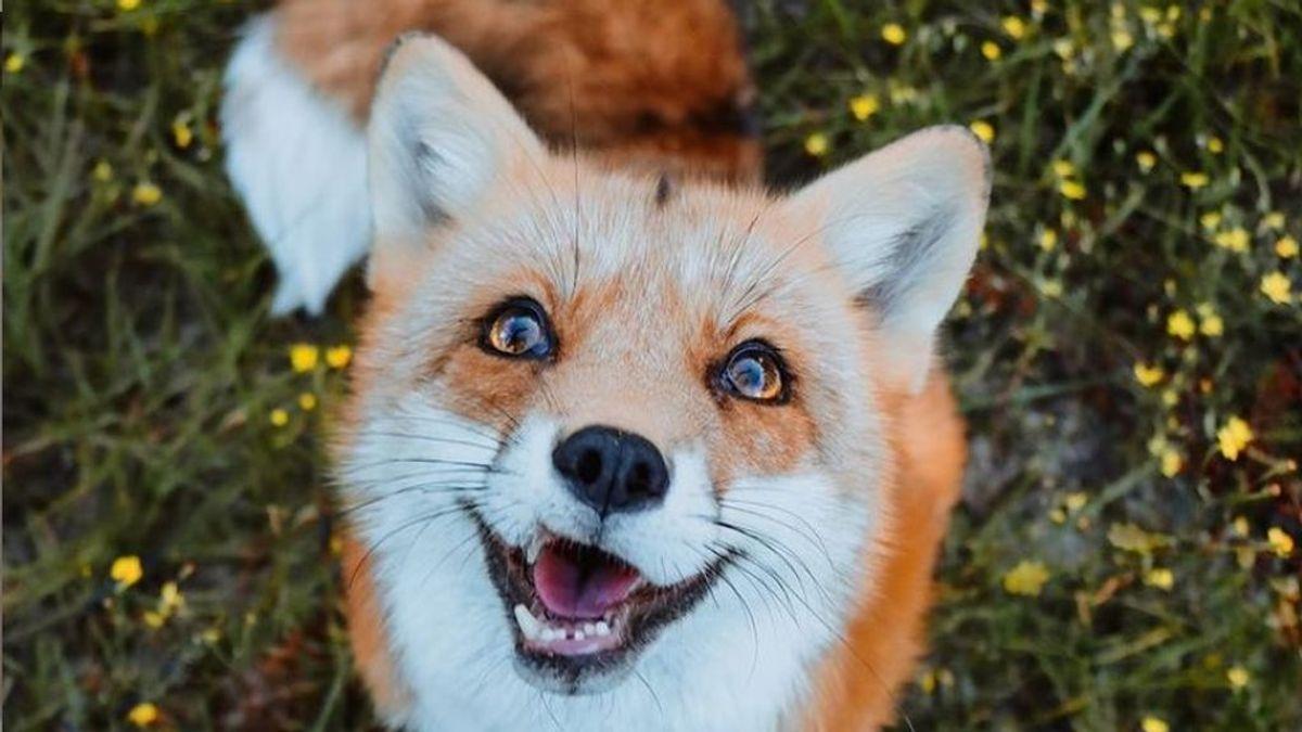 La historia de Juniper, el adorable zorro al que siguen más de 3 millones de personas en Instagram