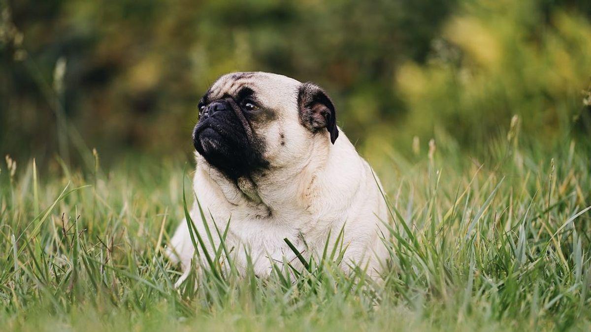 El sobrepeso puede matar a tu mascota. ¿Cómo influye la alimentación que le das a tu perro o a tu gato en su calidad de vida?