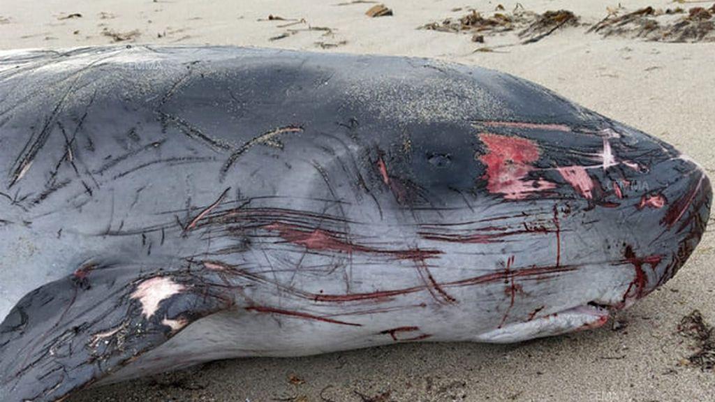 Dos cachalotes pigmeos mueren a orillas de A Coruña tras ingerir plástico