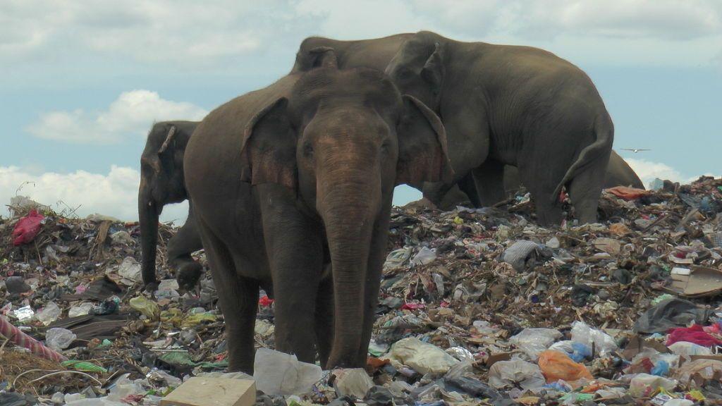 Cientos de elefantes buscan alimentos en vertederos de Sri Lanka