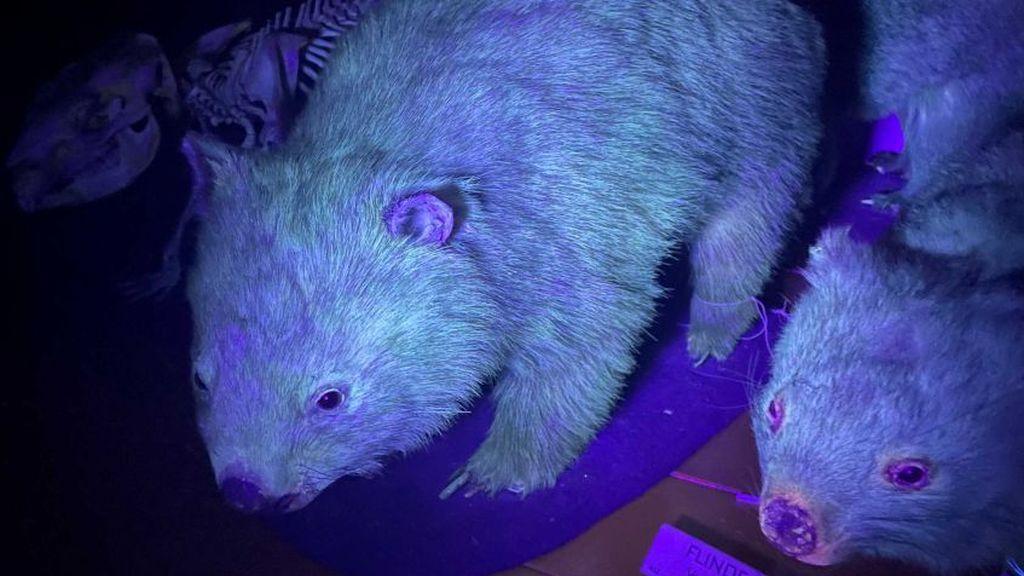 ¿Qué tienen en común ardillas voladoras, ornitorrincos y wombats? Todos brillan en la oscuridad