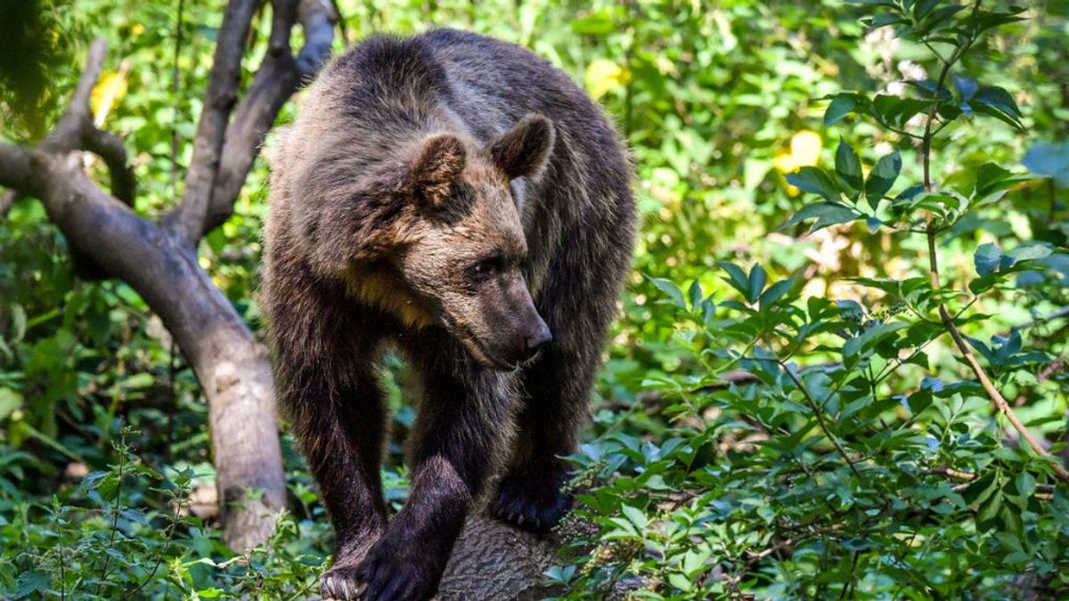 Matan a tiros a dos osos pardos en un día: un cazador lo confundió con un jabalí y el otro alega defensa propia