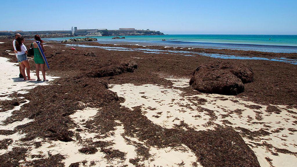 Un alga asiática, la termita oriental y la acacia negra, declaradas nuevas especies invasoras
