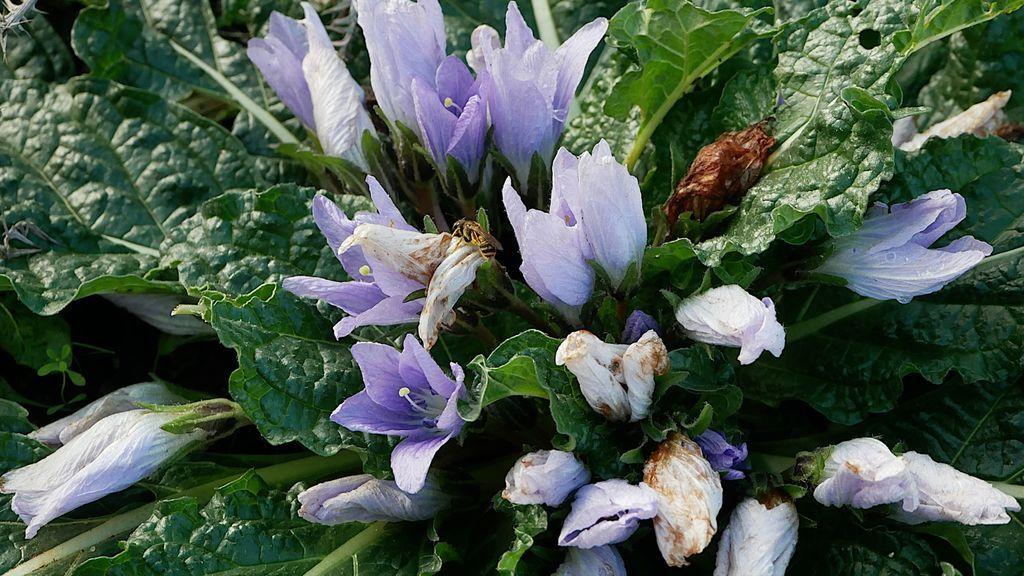 Un ejemplar de mandrágora en floración