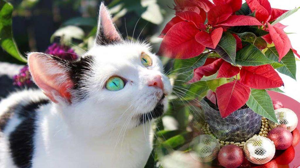 Cuidado con las flores de Pascua si tienes gato: veterinarios alertan de su toxicidad