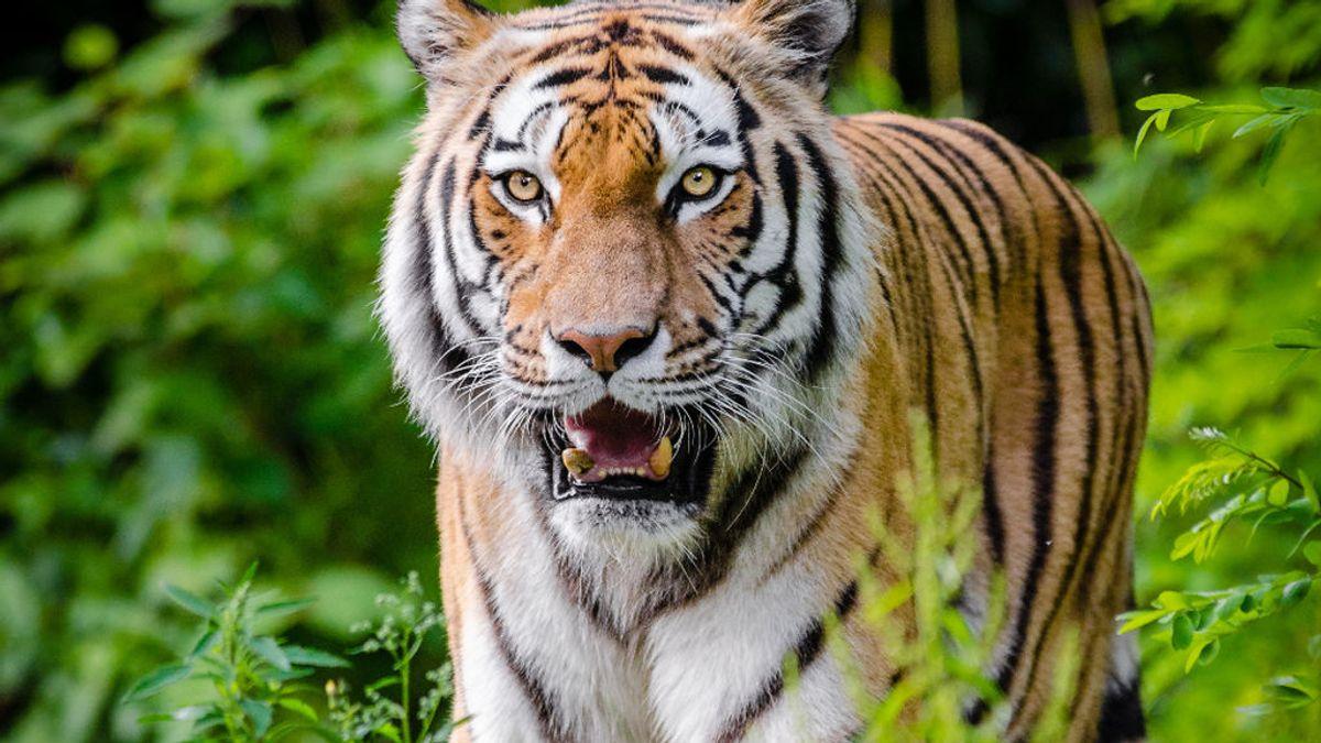 Una voluntaria, herida grave en el santuario de tigres de  Carole Baskins, protagonista de la serie 'Tiger King'