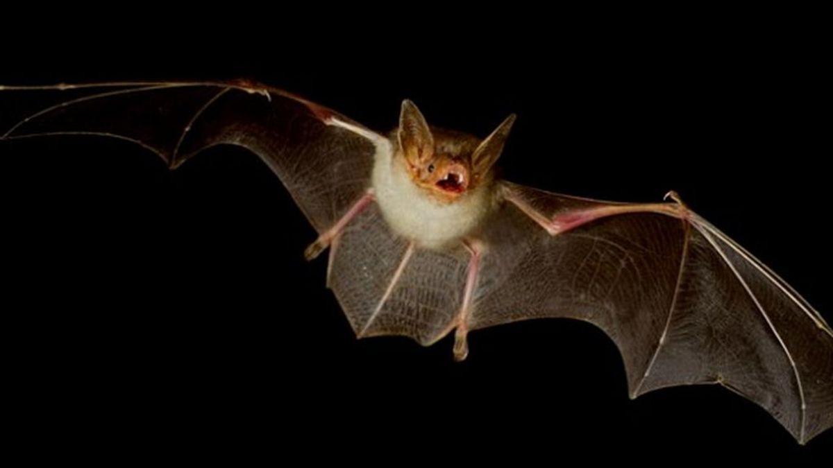 Existen otros tipos de coronavirus en murciélagos que podrían pasar a los humanos