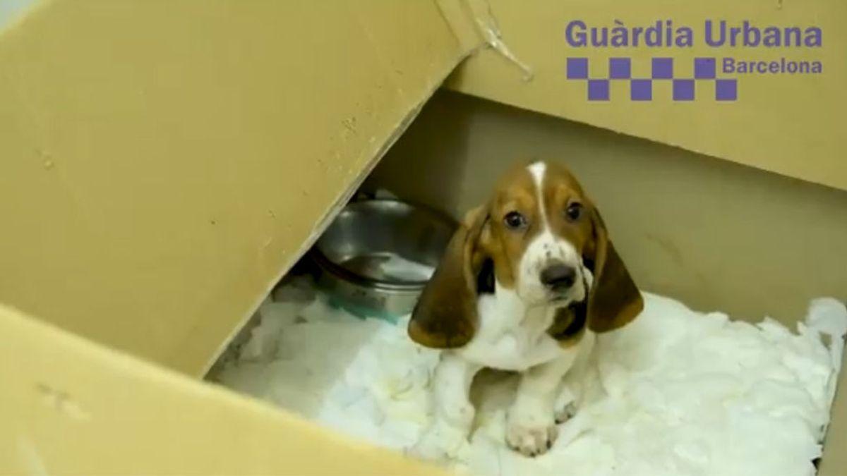 Rescatan a 33 perros enfermos de una tienda de animales de Barcelona
