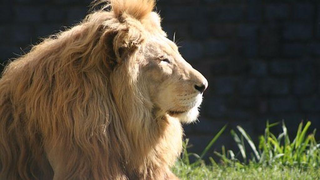 Los leones del Zoo de Barcelona han superado el coronavirus