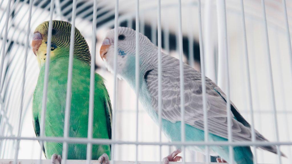 Panza llena, pájaro feliz: trucos fáciles para adiestrar a un periquito