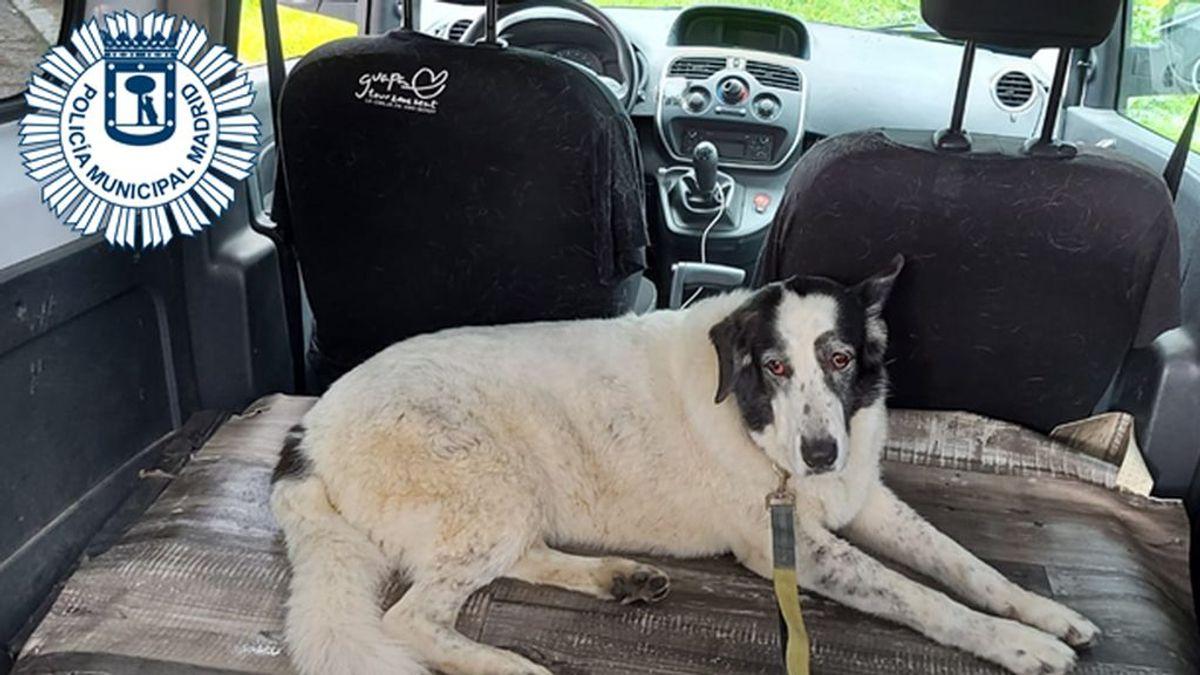 Cortan el tráfico en los túneles de M-30 para rescatar a Sira, una perra que estuvo perdida dos días