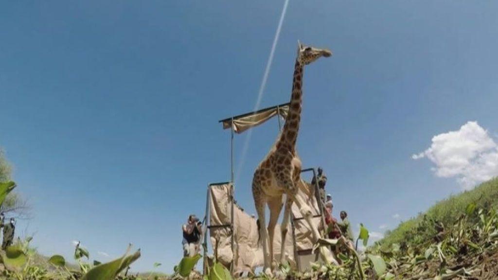 Rescatan a un grupo de jirafas atrapadas en una isla formada por las inundaciones de Kenia
