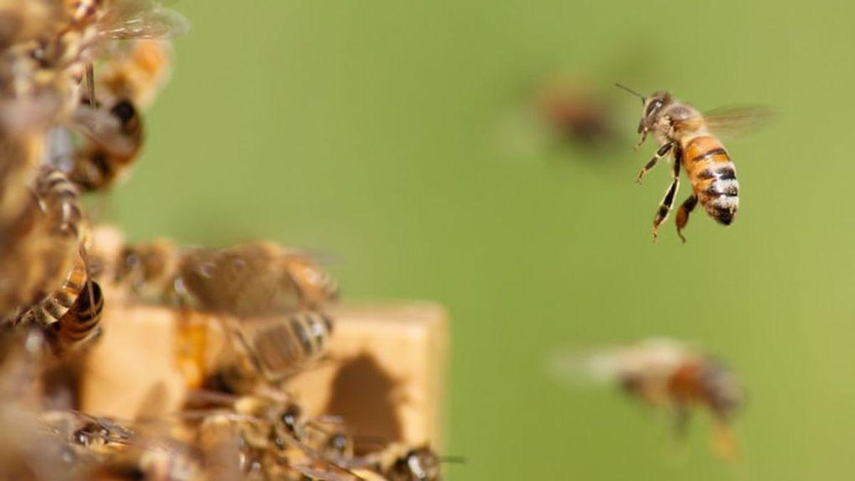 Las abejas están a la caza de heces de animales y los científicos creen saber por qué