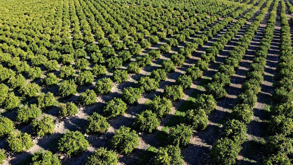La cuenca del Mediterráneo alberga más de nueve millones de limoneros