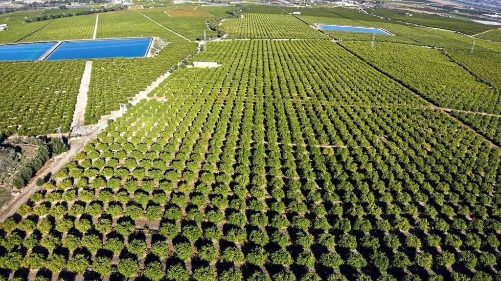 Los limoneros de la cuenca del Mediterráneo garantizan una producción continua