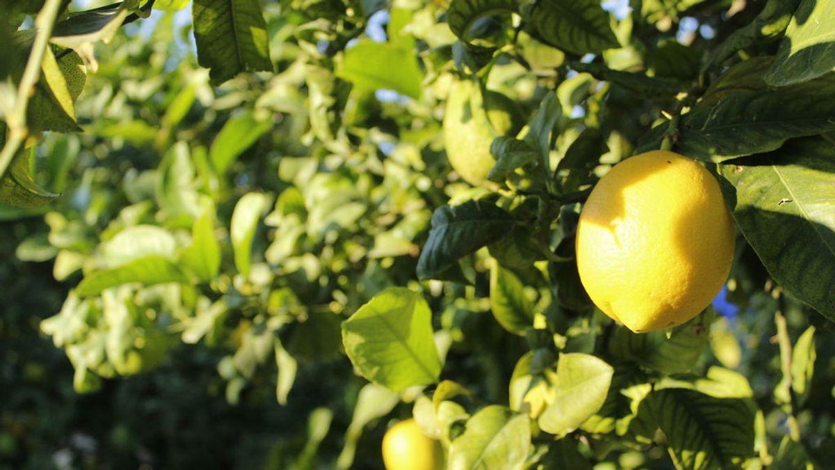 El limón europeo es el más sostenible del mundo: las claves de su beneficiosa aportación al medioambiente